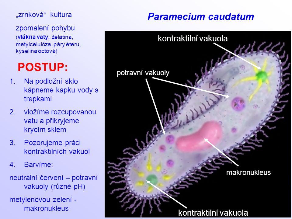"""POSTUP: Paramecium caudatum kontraktilní vakuola """"zrnková kultura"""
