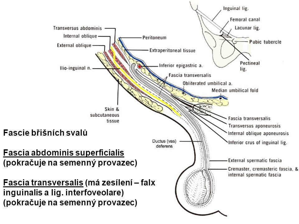 Fascie břišních svalů Fascia abdominis superficialis (pokračuje na semenný provazec)