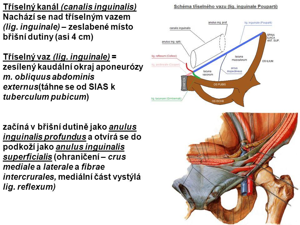 Tříselný kanál (canalis inguinalis) Nachází se nad tříselným vazem (lig. inguinale) – zeslabené místo břišní dutiny (asi 4 cm)