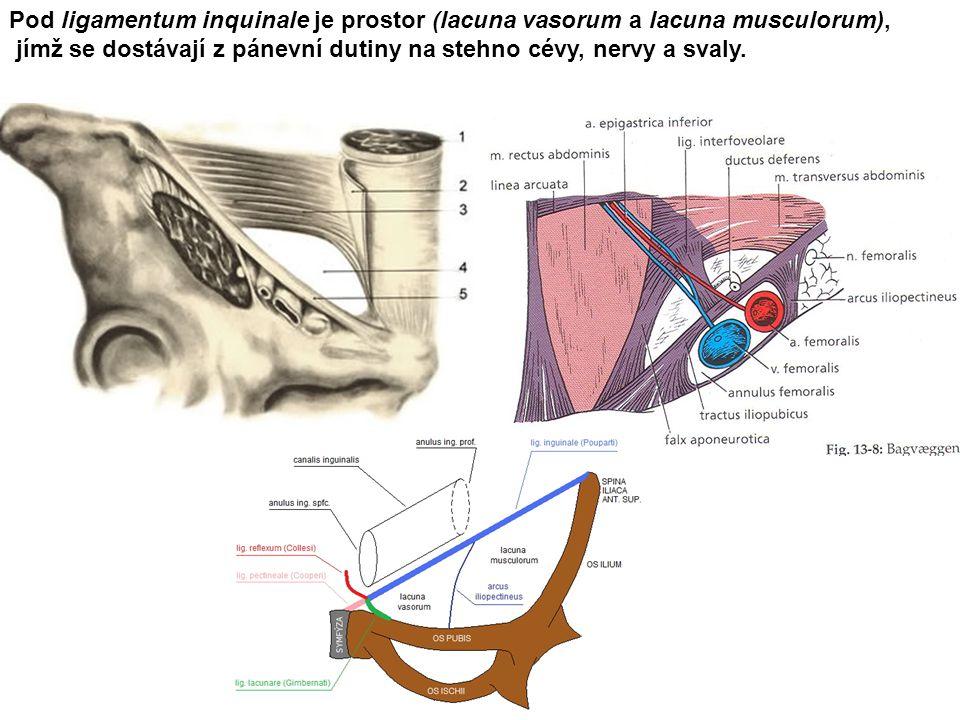 Pod ligamentum inquinale je prostor (lacuna vasorum a lacuna musculorum),