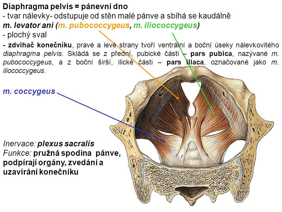 Diaphragma pelvis = pánevní dno