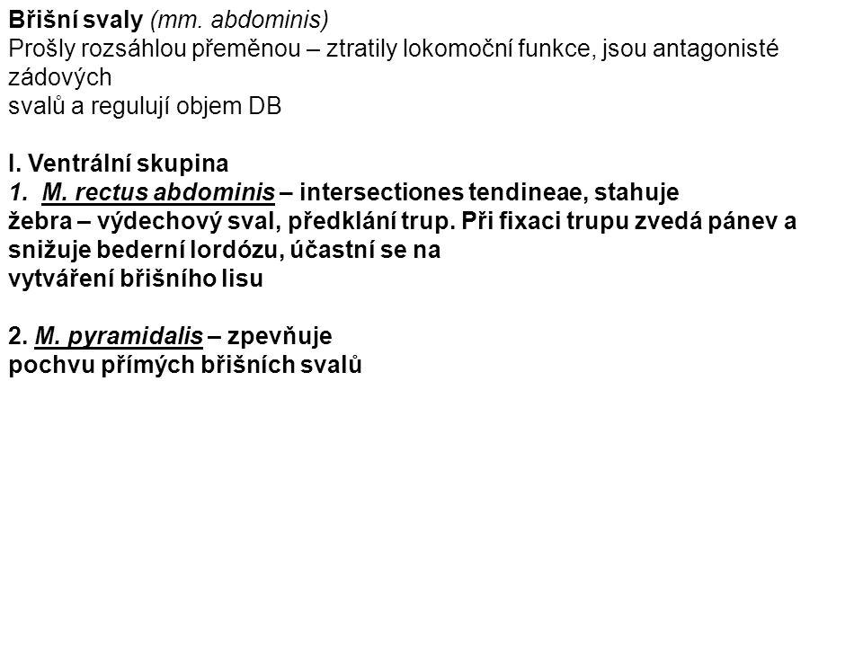 Břišní svaly (mm. abdominis)
