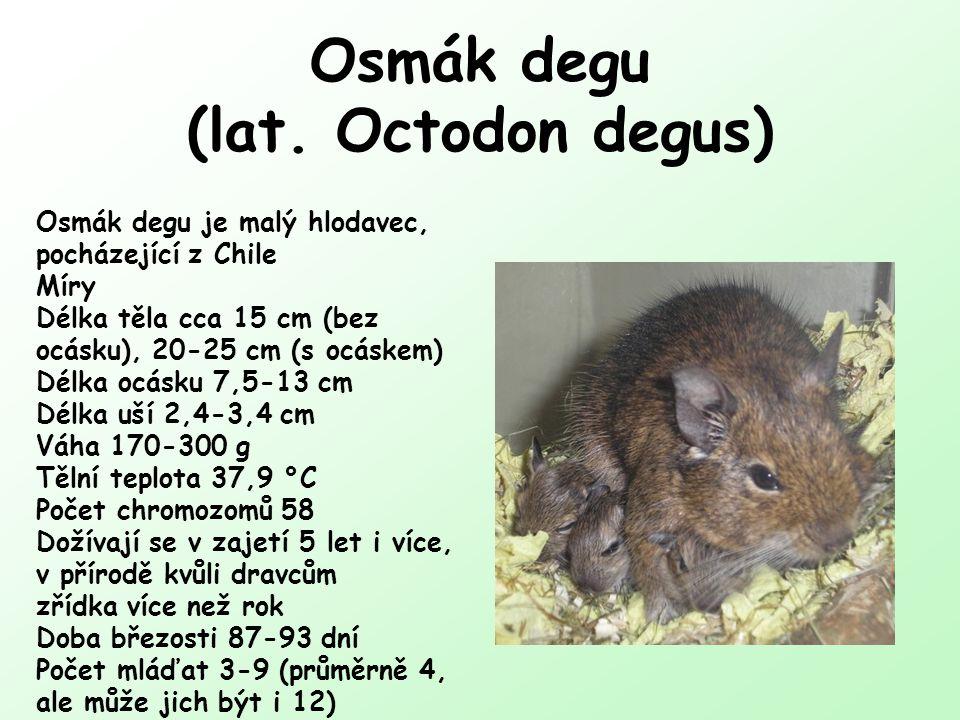 Osmák degu (lat. Octodon degus)