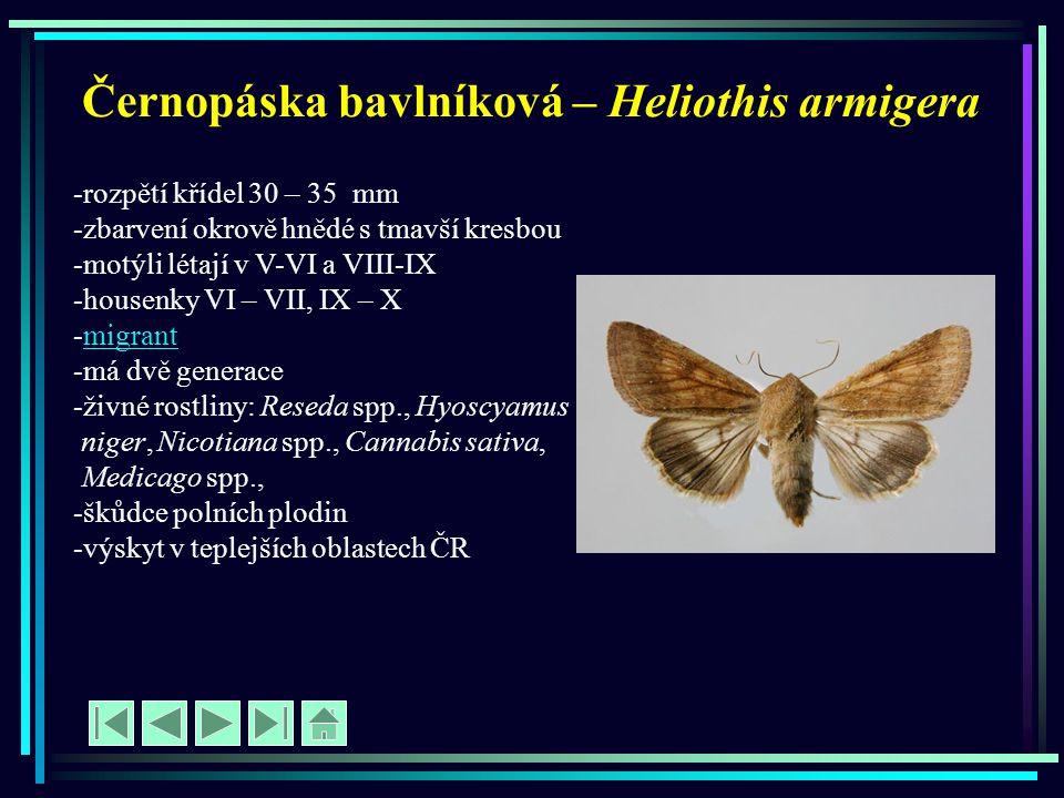 Černopáska bavlníková – Heliothis armigera