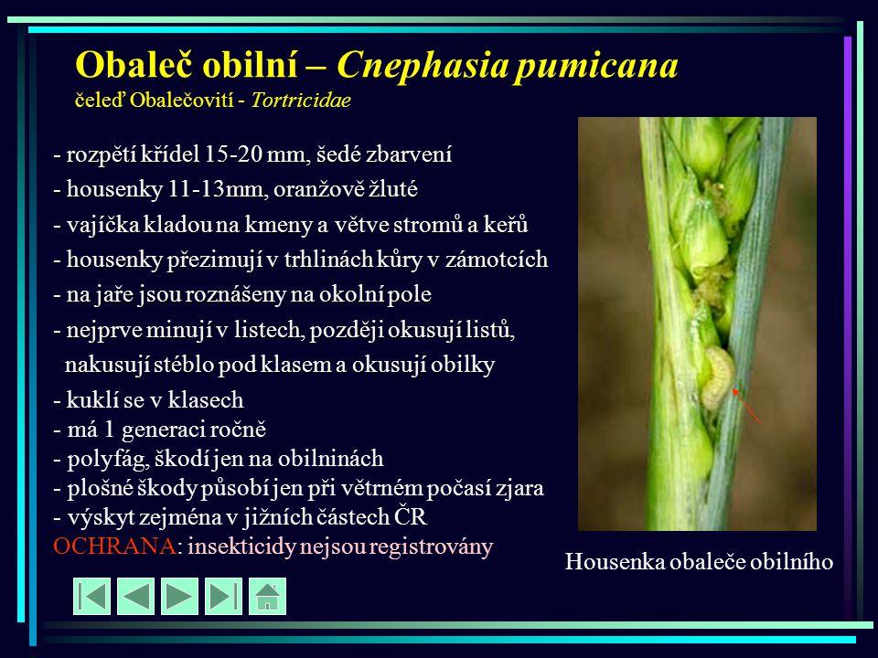 Obaleč obilní – Cnephasia pumicana čeleď Obalečovití - Tortricidae