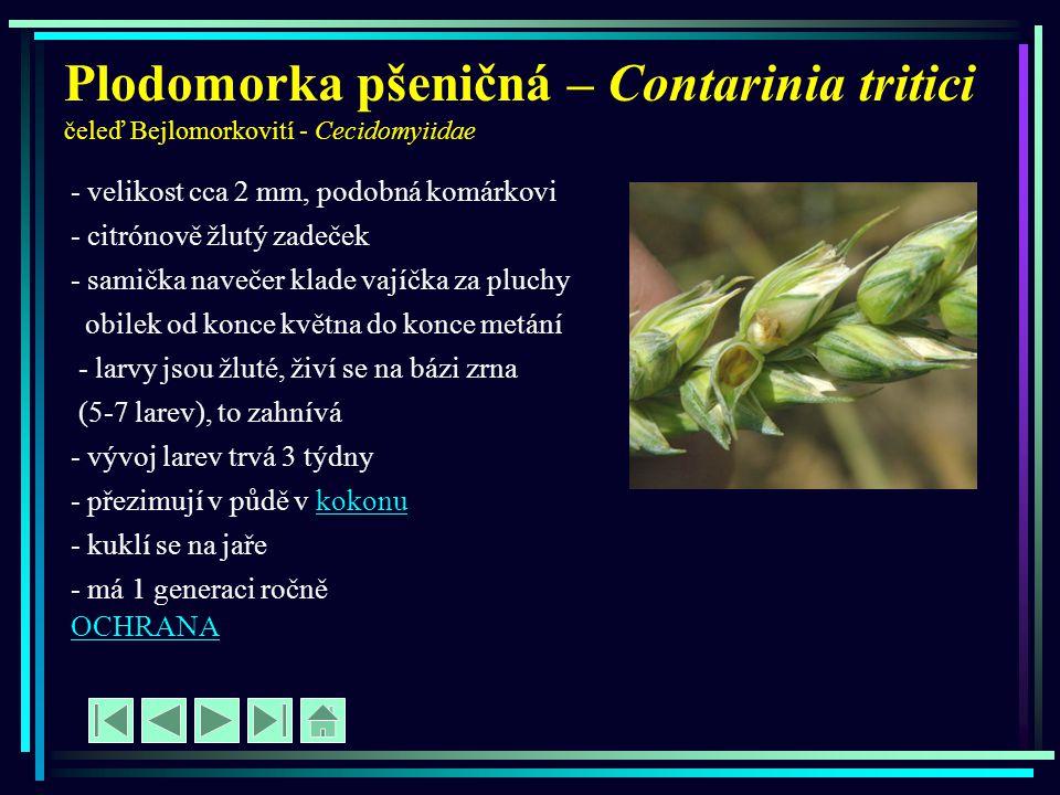 Plodomorka pšeničná – Contarinia tritici čeleď Bejlomorkovití - Cecidomyiidae