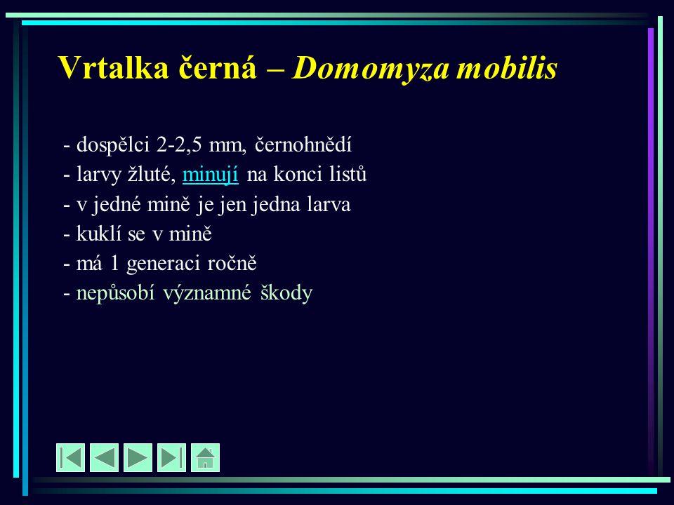 Vrtalka černá – Domomyza mobilis