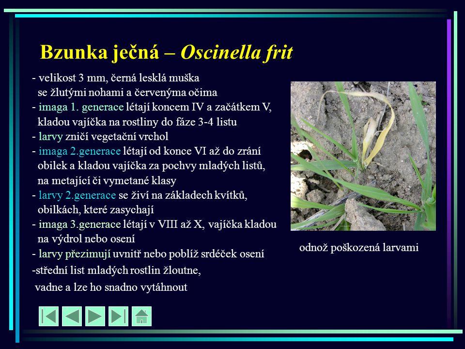 Bzunka ječná – Oscinella frit