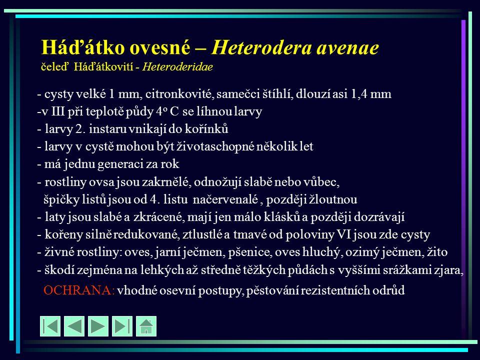 Háďátko ovesné – Heterodera avenae čeleď Háďátkovití - Heteroderidae