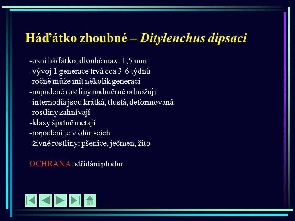 Háďátko zhoubné – Ditylenchus dipsaci