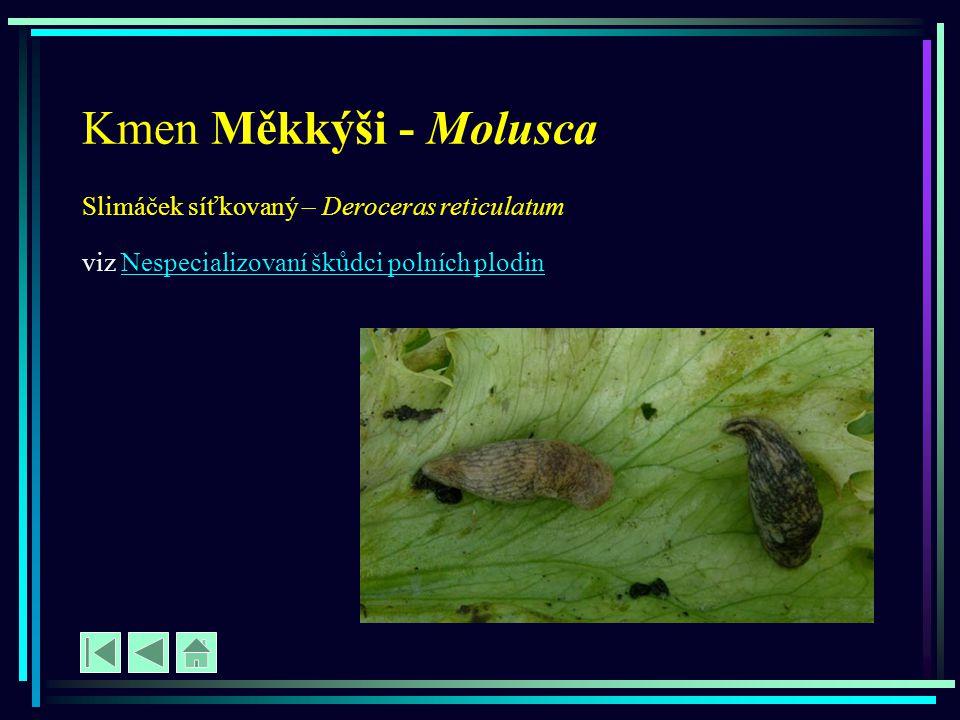 Kmen Měkkýši - Molusca Slimáček síťkovaný – Deroceras reticulatum
