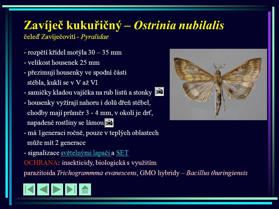Zavíječ kukuřičný – Ostrinia nubilalis čeleď Zavíječovití - Pyralidae