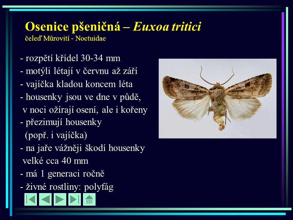 Osenice pšeničná – Euxoa tritici čeleď Můrovití - Noctuidae