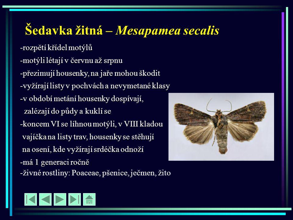 Šedavka žitná – Mesapamea secalis