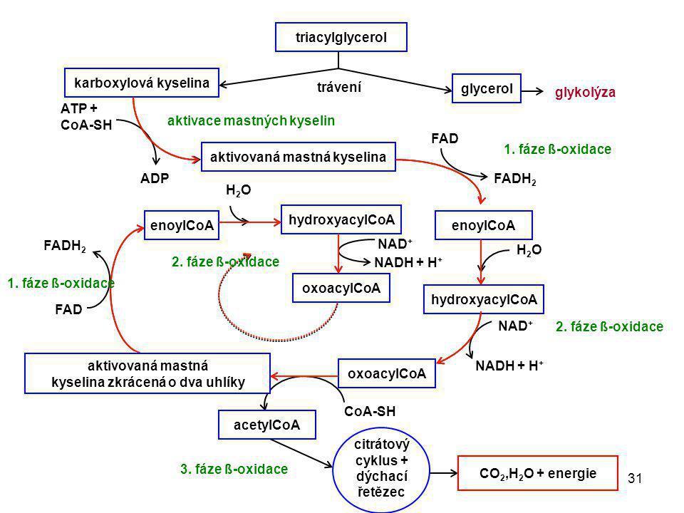 aktivace mastných kyselin FAD 1. fáze ß-oxidace