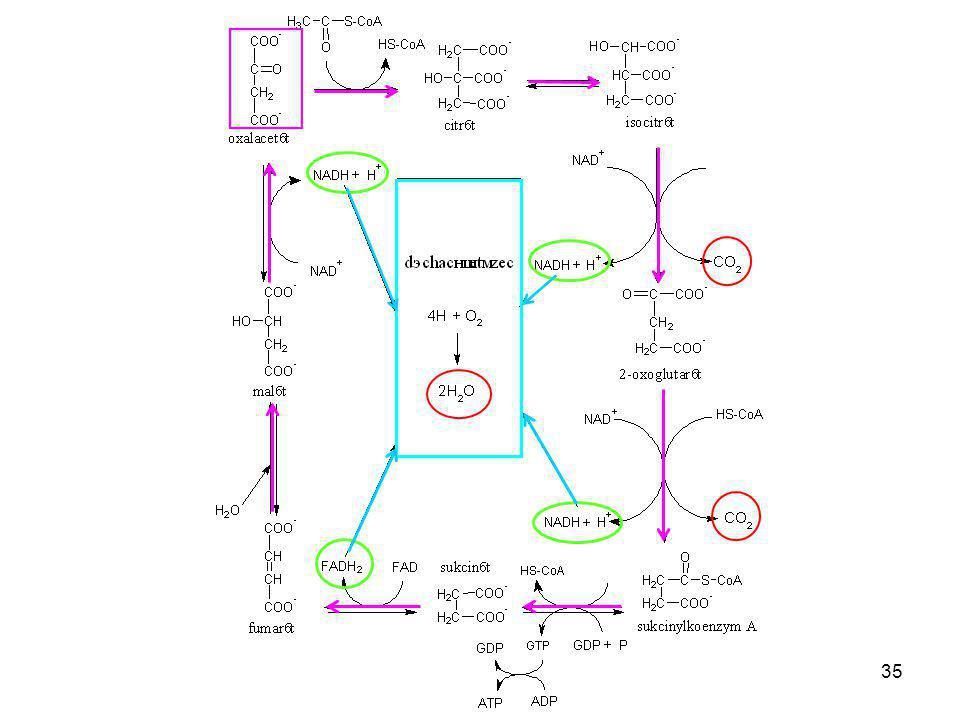 Jednotlivé kroky citrátového cyklu je možné z učiva středoškolské biochemie vynechat.