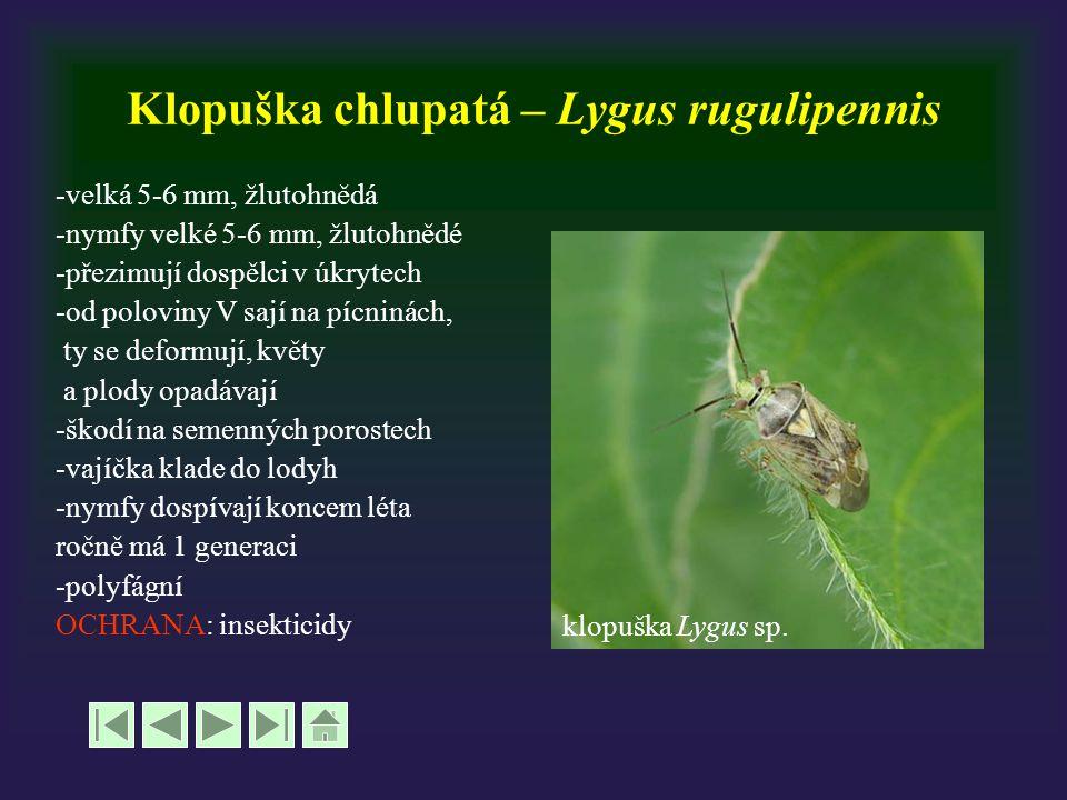 Klopuška chlupatá – Lygus rugulipennis