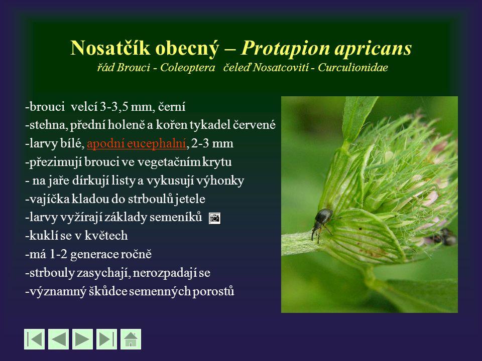 Nosatčík obecný – Protapion apricans řád Brouci - Coleoptera čeleď Nosatcovití - Curculionidae