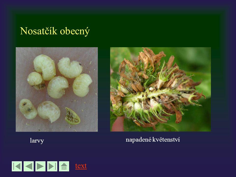 Nosatčík obecný larvy napadené květenství text