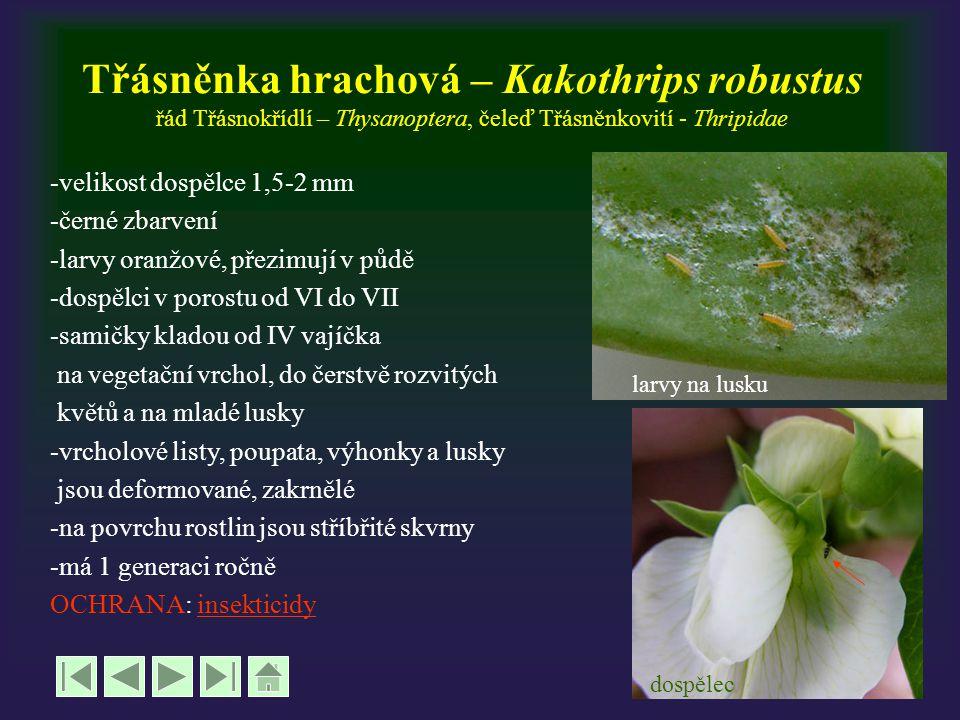 Třásněnka hrachová – Kakothrips robustus řád Třásnokřídlí – Thysanoptera, čeleď Třásněnkovití - Thripidae