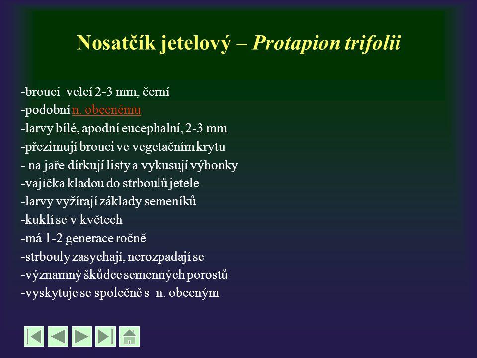 Nosatčík jetelový – Protapion trifolii