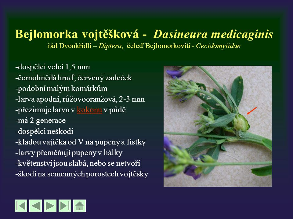 Bejlomorka vojtěšková - Dasineura medicaginis řád Dvoukřídlí – Diptera, čeleď Bejlomorkovití - Cecidomyiidae