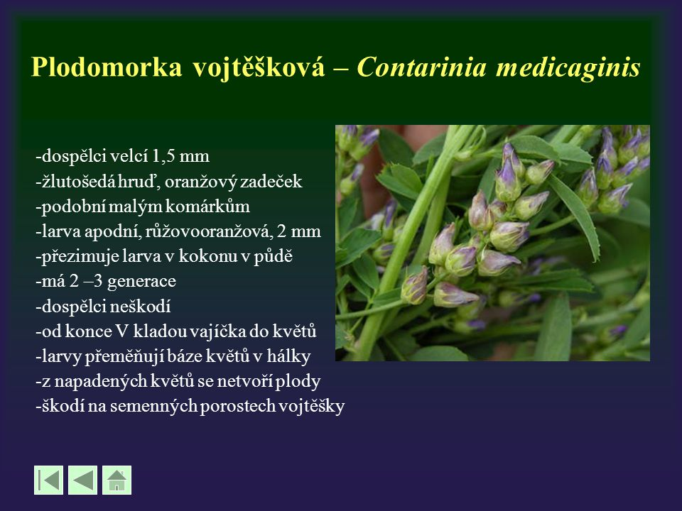 Plodomorka vojtěšková – Contarinia medicaginis