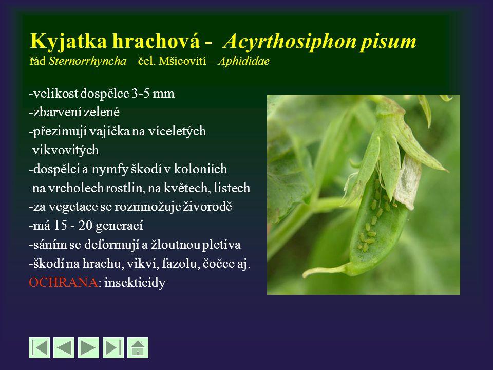 Kyjatka hrachová - Acyrthosiphon pisum řád Sternorrhyncha čel