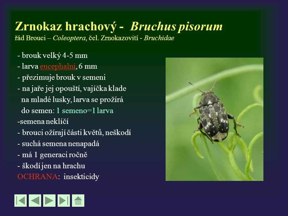 Zrnokaz hrachový - Bruchus pisorum řád Brouci – Coleoptera, čel