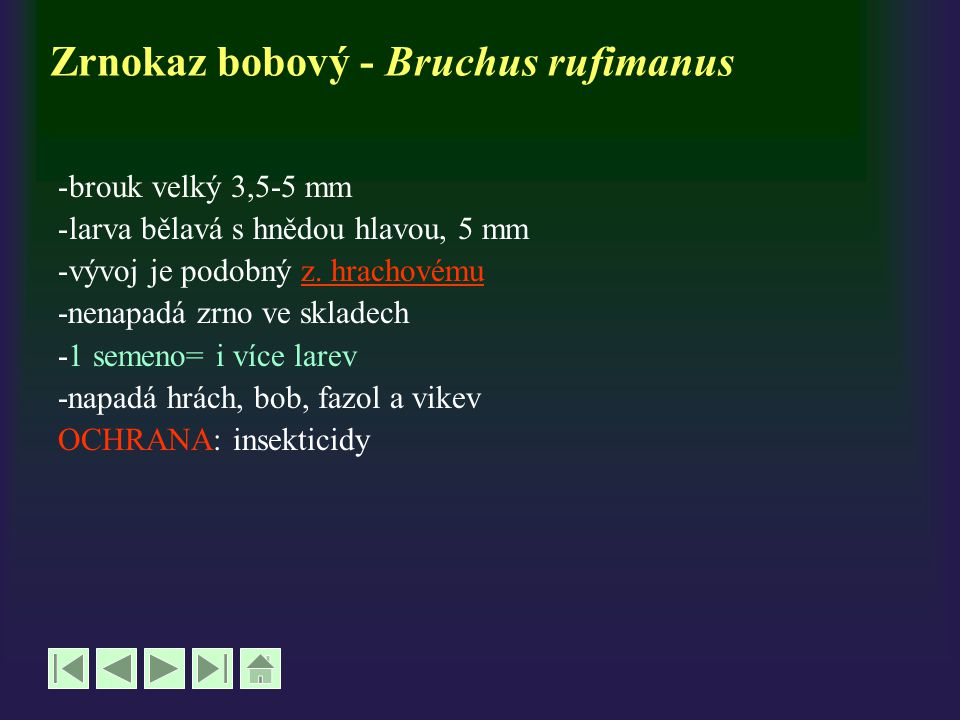 Zrnokaz bobový - Bruchus rufimanus