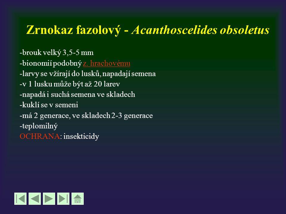 Zrnokaz fazolový - Acanthoscelides obsoletus