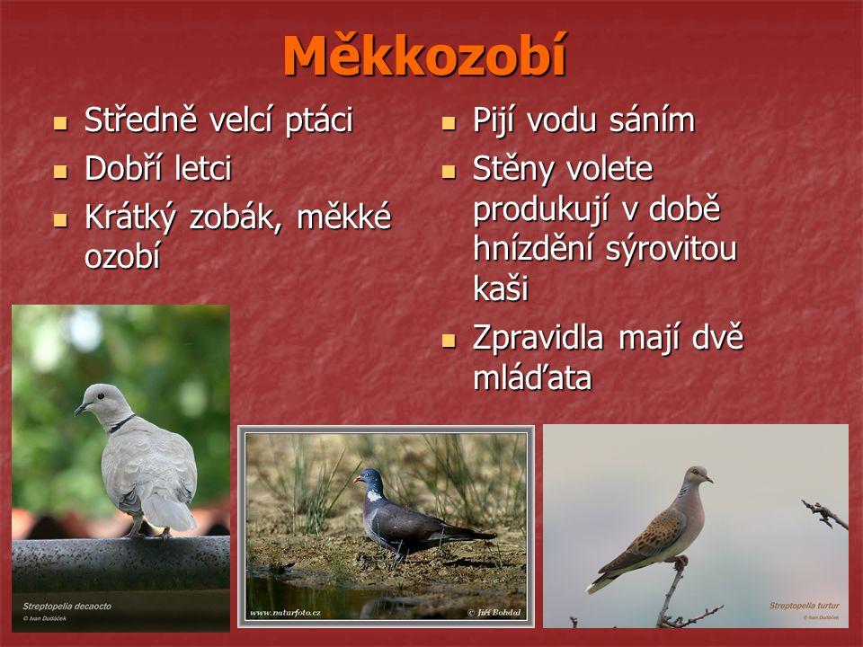Měkkozobí Středně velcí ptáci Dobří letci Krátký zobák, měkké ozobí