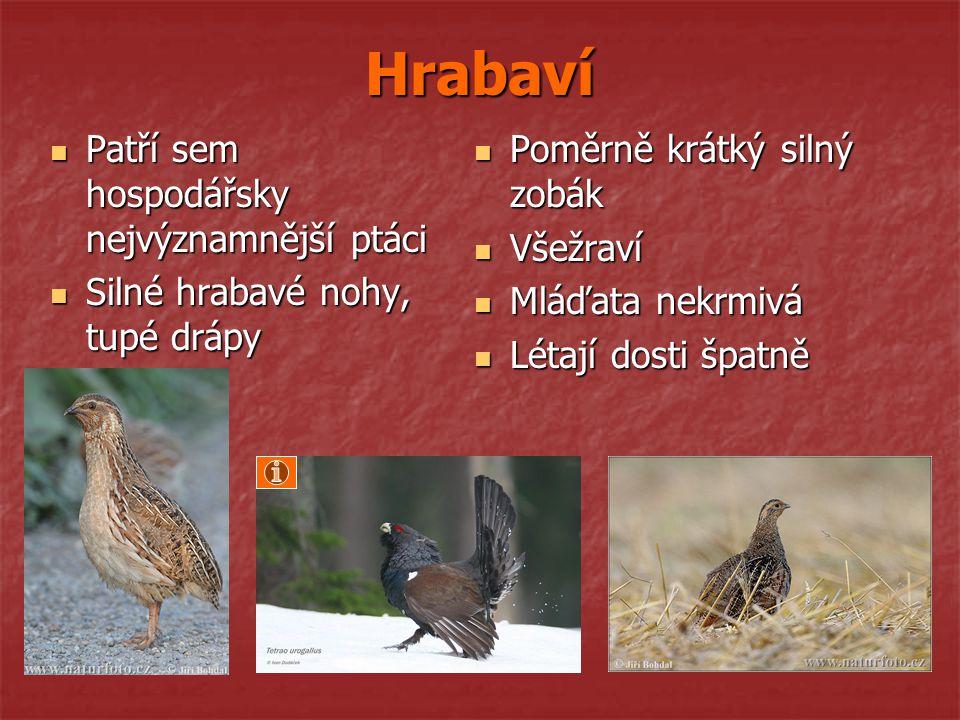 Hrabaví Patří sem hospodářsky nejvýznamnější ptáci