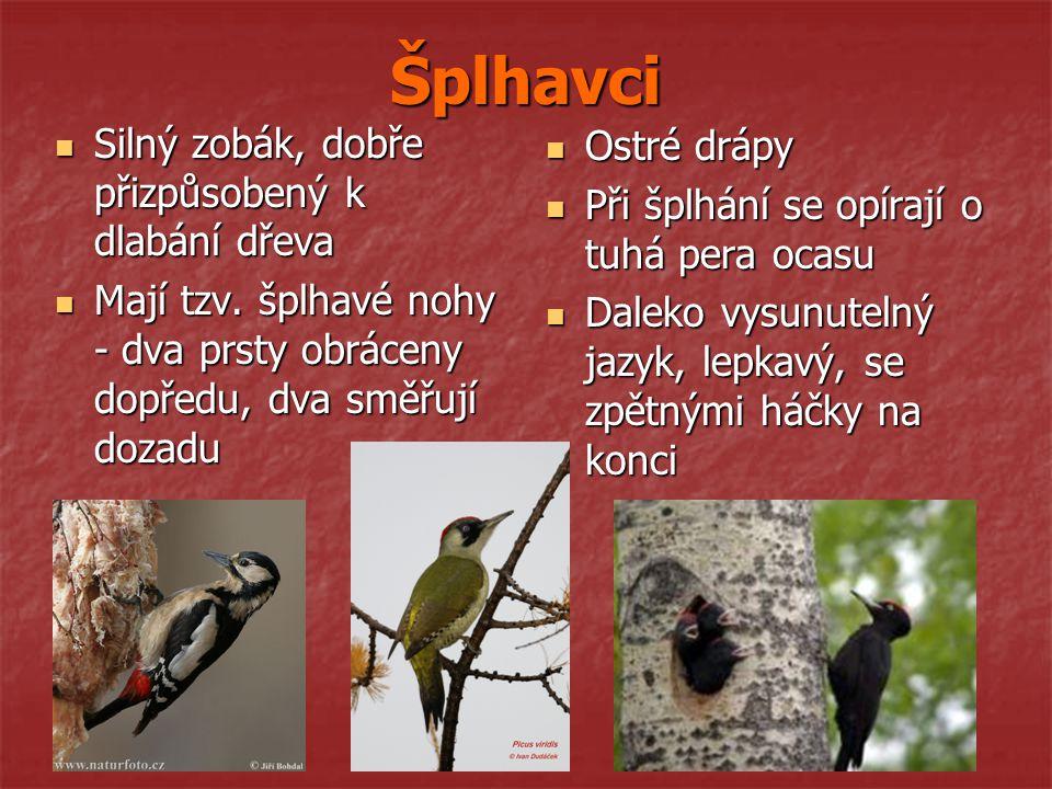 Šplhavci Silný zobák, dobře přizpůsobený k dlabání dřeva Ostré drápy