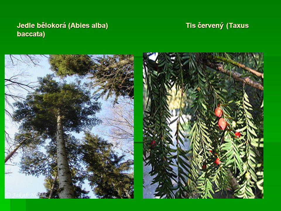 Jedle bělokorá (Abies alba) Tis červený (Taxus baccata)