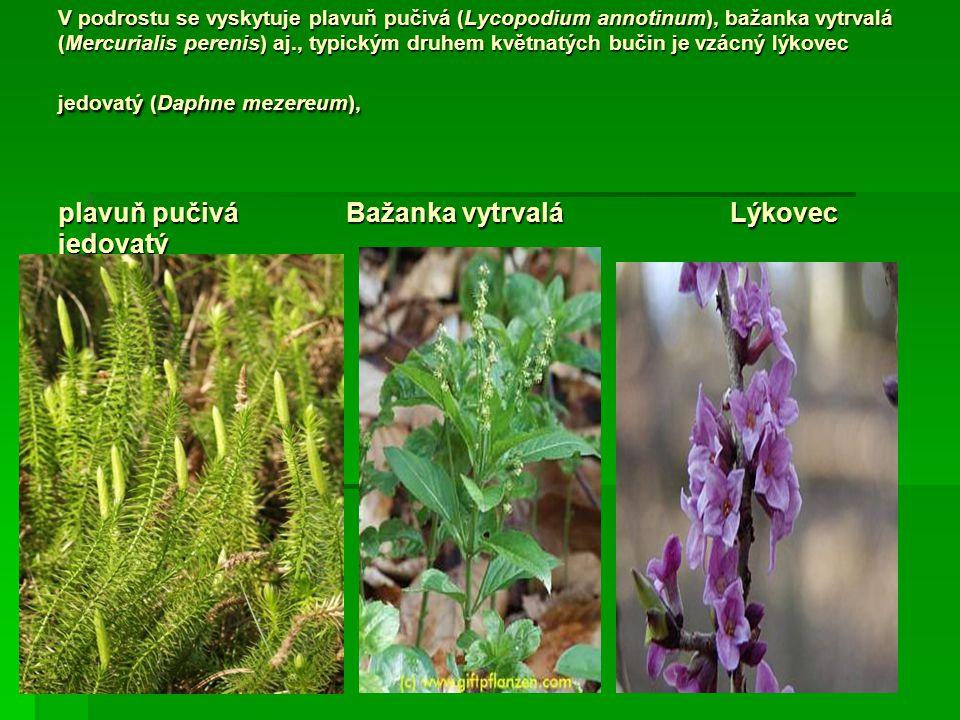 V podrostu se vyskytuje plavuň pučivá (Lycopodium annotinum), bažanka vytrvalá (Mercurialis perenis) aj., typickým druhem květnatých bučin je vzácný lýkovec jedovatý (Daphne mezereum), plavuň pučivá Bažanka vytrvalá Lýkovec jedovatý