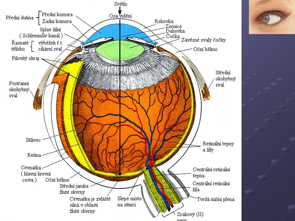 Části oka Průchod světla: Rohovka, komora, čočka, sklivec, sítnice