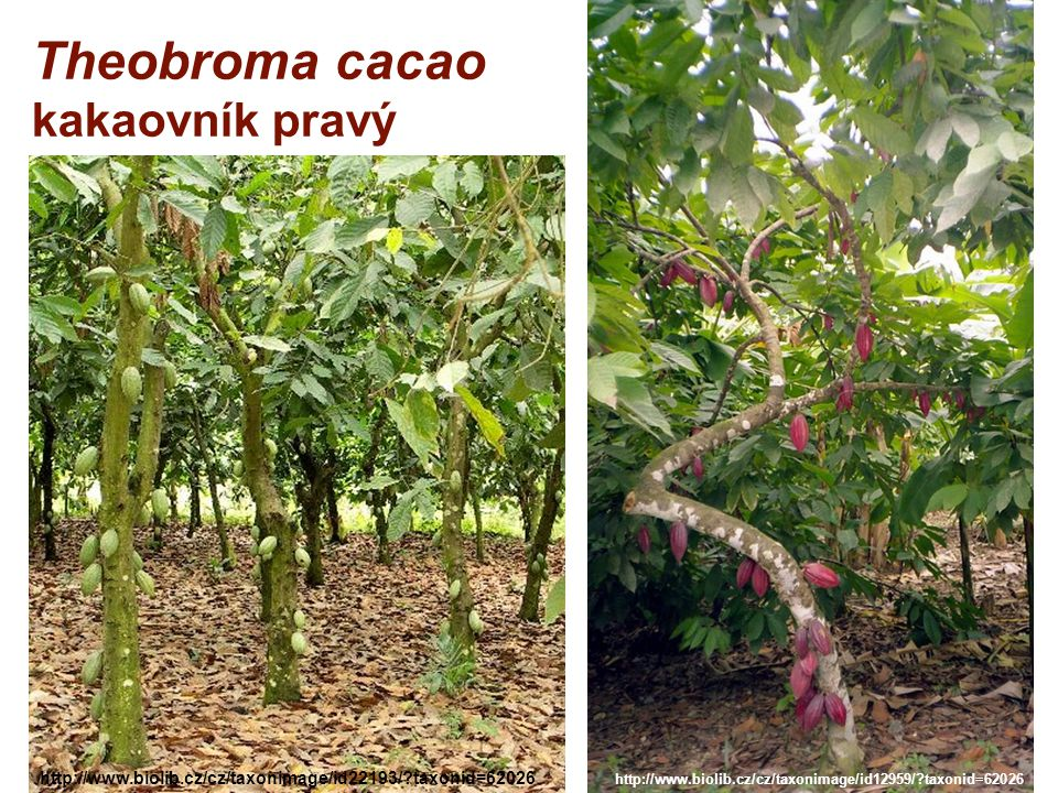Theobroma cacao kakaovník pravý