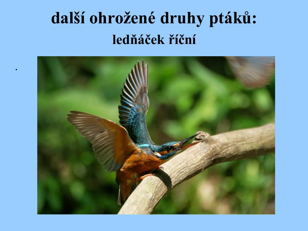 další ohrožené druhy ptáků: ledňáček říční