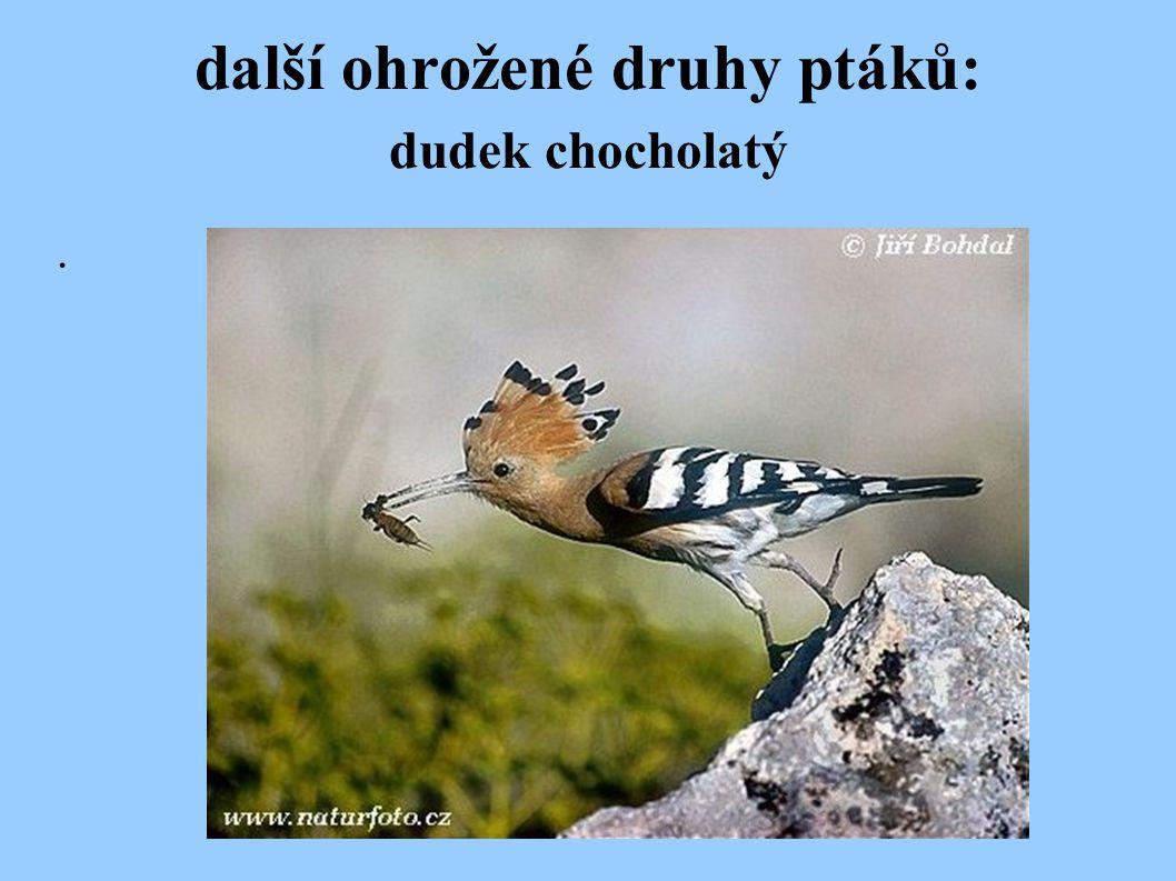 další ohrožené druhy ptáků: dudek chocholatý