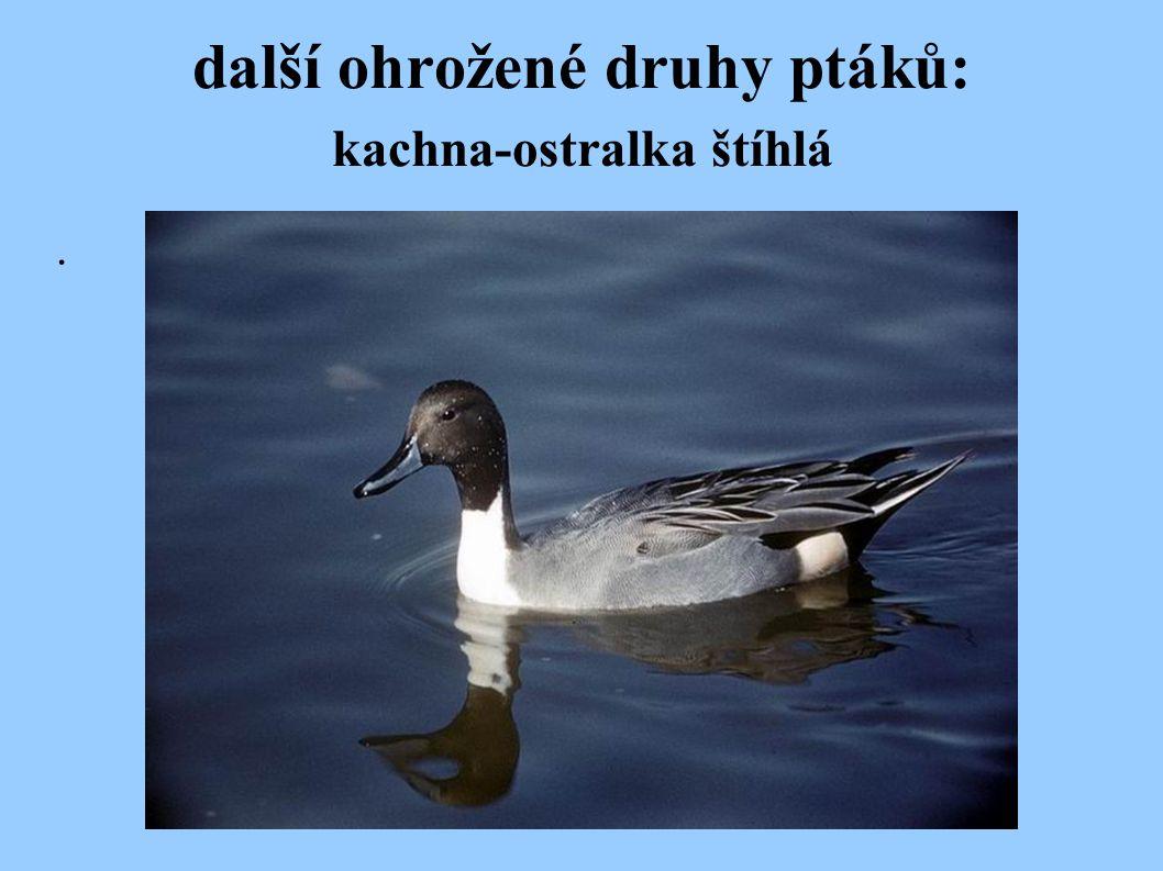 další ohrožené druhy ptáků: kachna-ostralka štíhlá