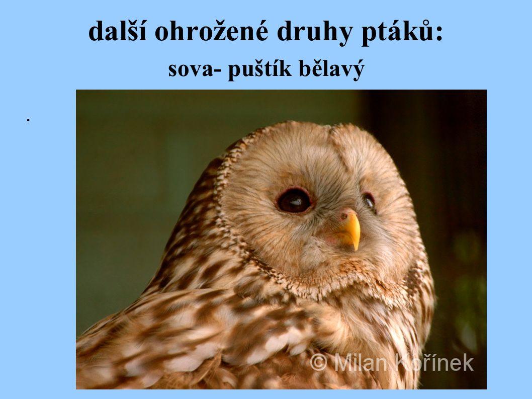 další ohrožené druhy ptáků: sova- puštík bělavý