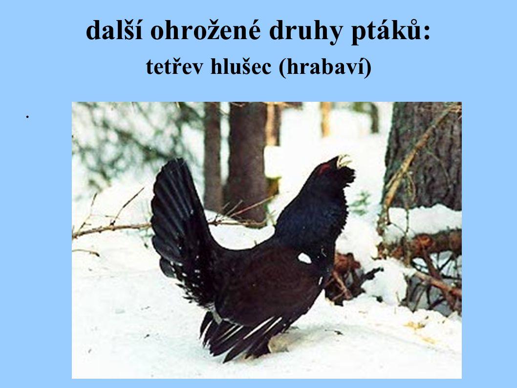 další ohrožené druhy ptáků: tetřev hlušec (hrabaví)