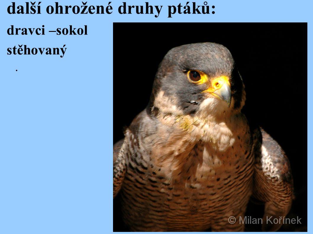 další ohrožené druhy ptáků: dravci –sokol stěhovaný