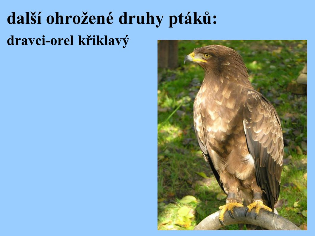 další ohrožené druhy ptáků: dravci-orel křiklavý