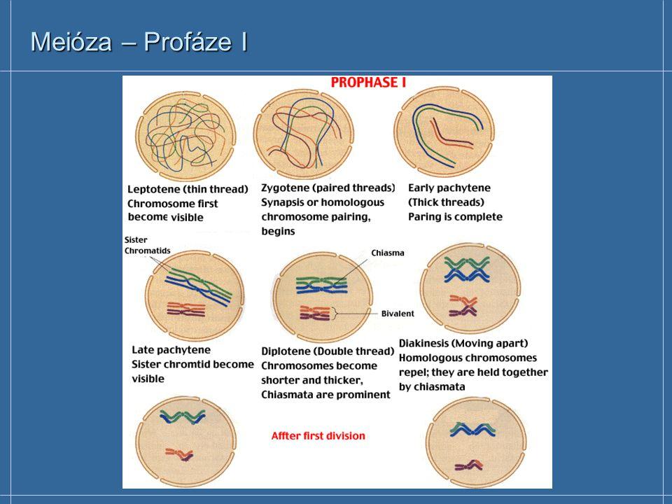 Meióza – Profáze I