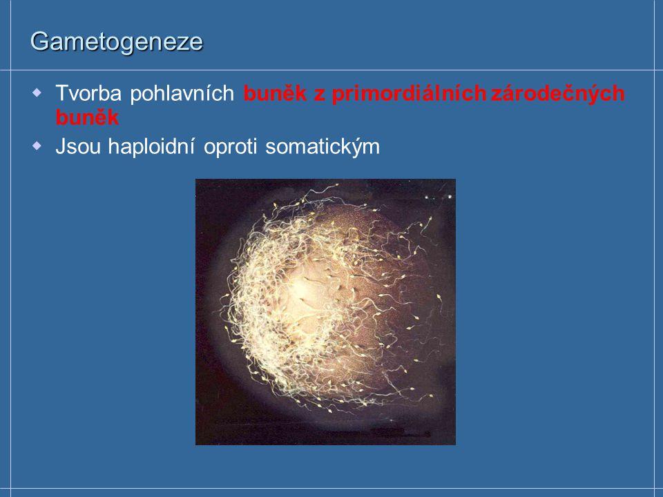 Gametogeneze Tvorba pohlavních buněk z primordiálních zárodečných buněk.