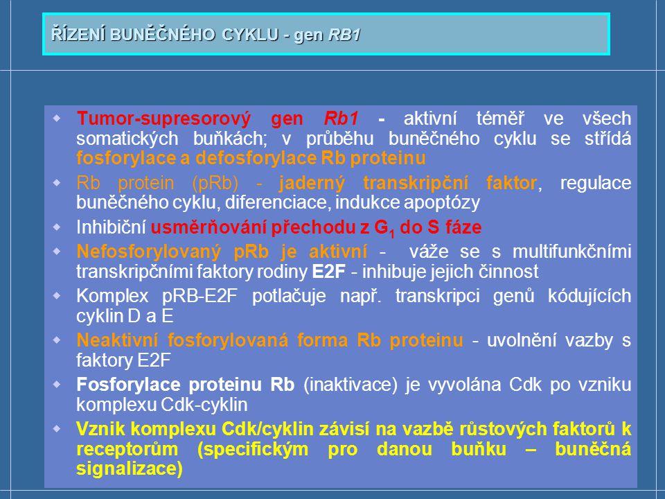ŘÍZENÍ BUNĚČNÉHO CYKLU - gen RB1