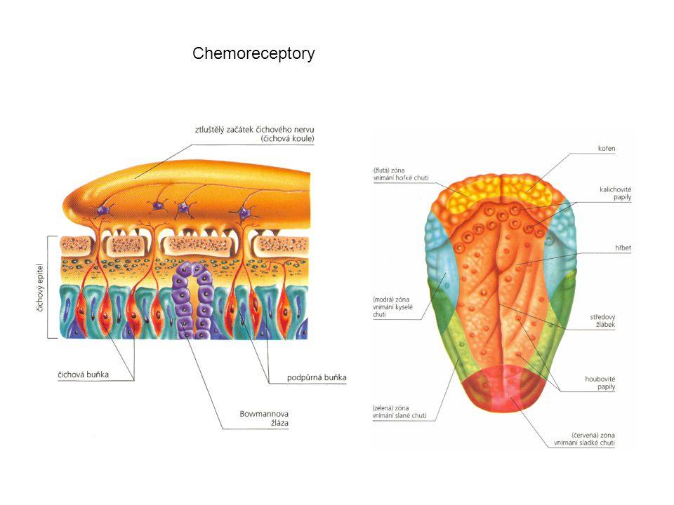 Chemoreceptory
