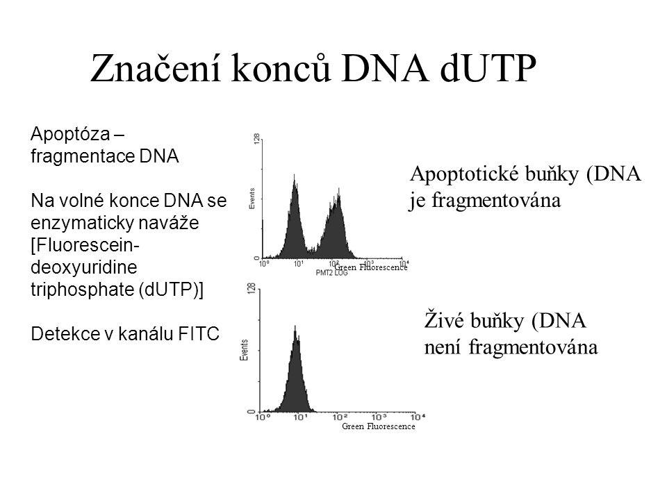 Značení konců DNA dUTP Apoptotické buňky (DNA je fragmentována